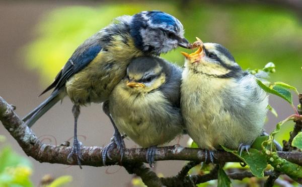 Blue tit family by Giorgie0