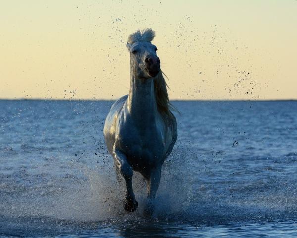 Camargue Horse by Holmewood