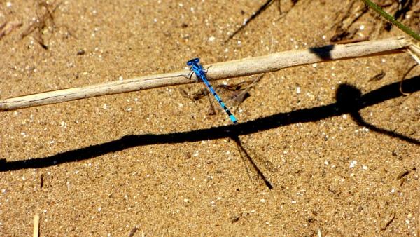 Blue Damselfly . by ejakzzz