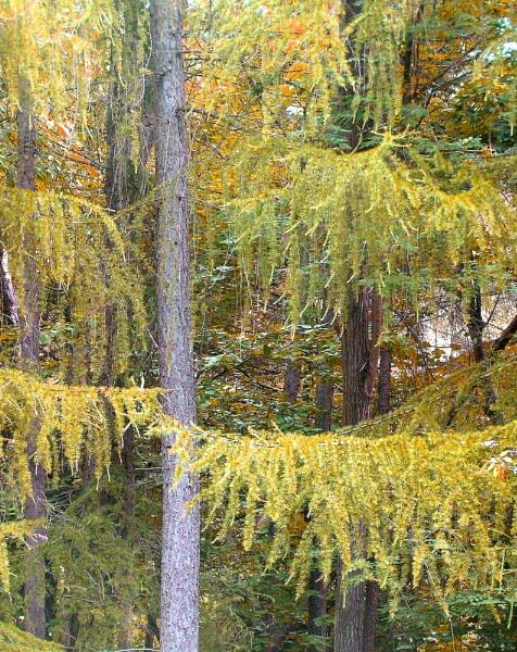 shaggy fir by enfys