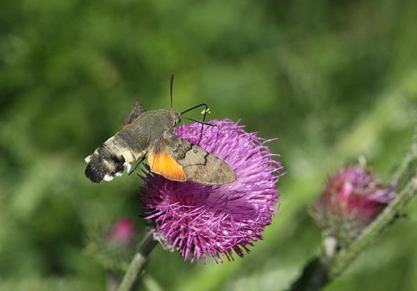Hummingbird Hawk-moth by Andy_brown