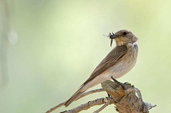 Flycatcher with prey by alcontu