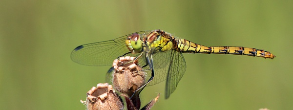Common Darter--Sympetrum striolatum. by bobpaige1