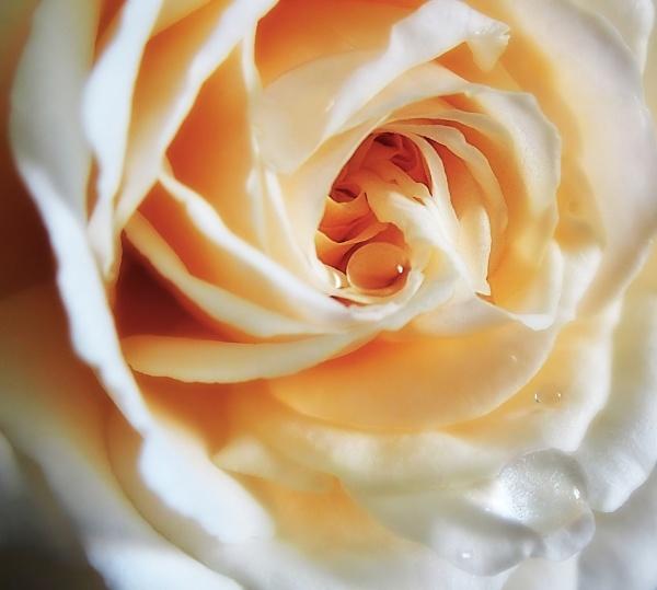 Rose Cream Abundance by PrunellaCara