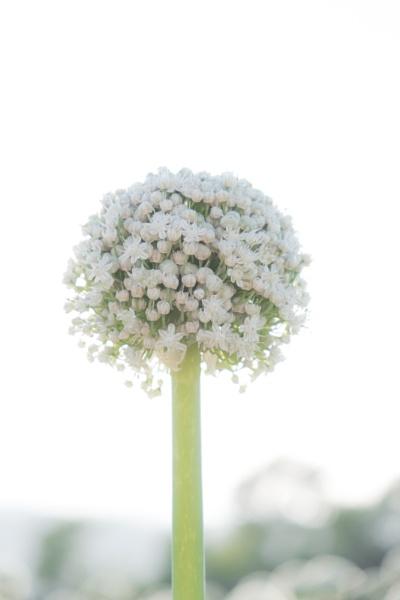 onion flower by larcx
