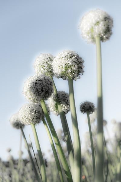 onion flowers by larcx