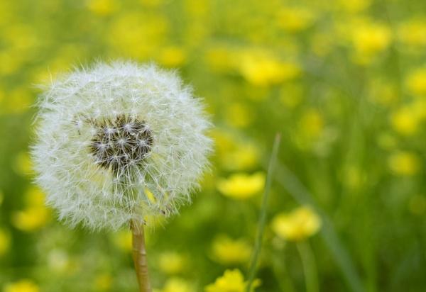 Dandelion by crazylion