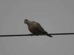 greyish pigeon