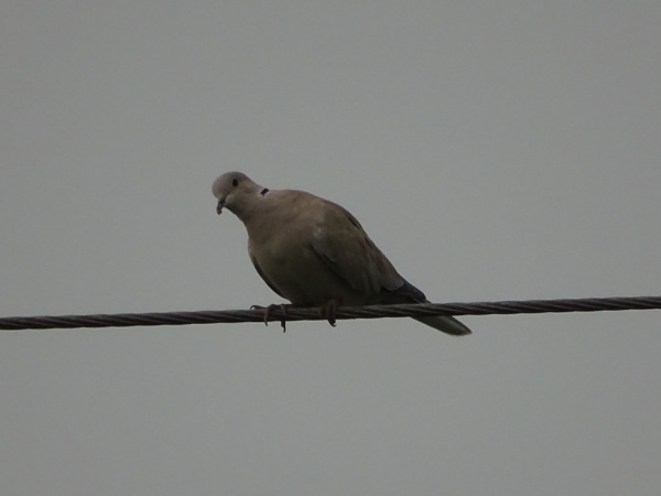 greyish pigeon by sameer12year
