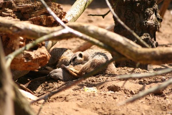 Meerkats by Wazzay2k1