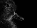 Ducky by cattyal