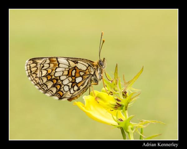 Butterflies 2015 No 35 by tomcat