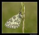 Butterflies 2015 No 36 by tomcat
