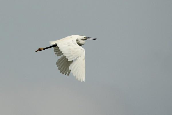 Little Egret in flight by Glostopcat
