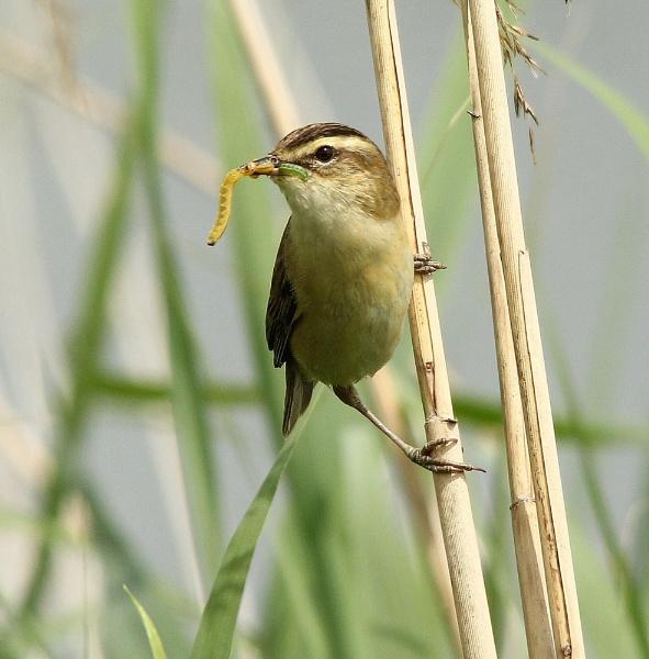 Sedge Warbler feeding young II by Glostopcat