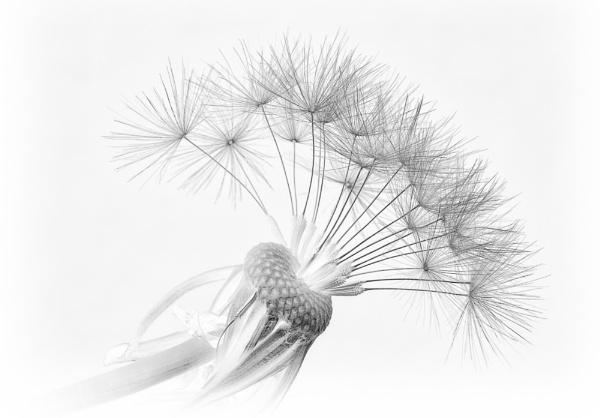 Dandelion by kitz