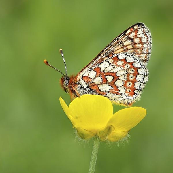 Marsh Fritillary on buttercup II by Glostopcat