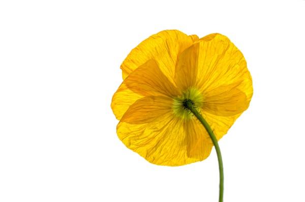 Mellow Yellow by Loudon