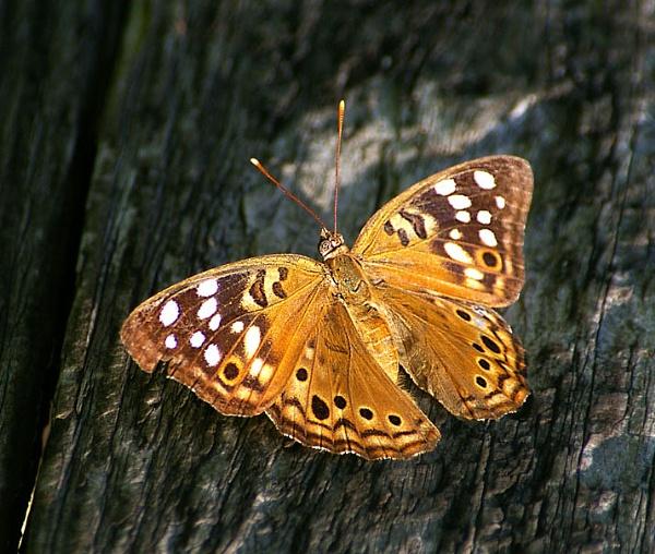 butterfly on tree by wsteffey