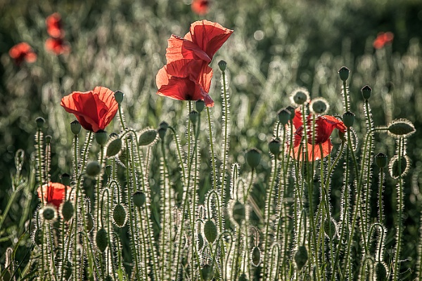 Poppy\'s by mikepearce