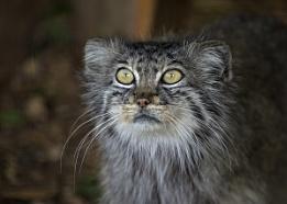 Tulla The Pallas Cat