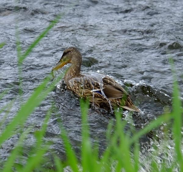 off a ducks back by steve486
