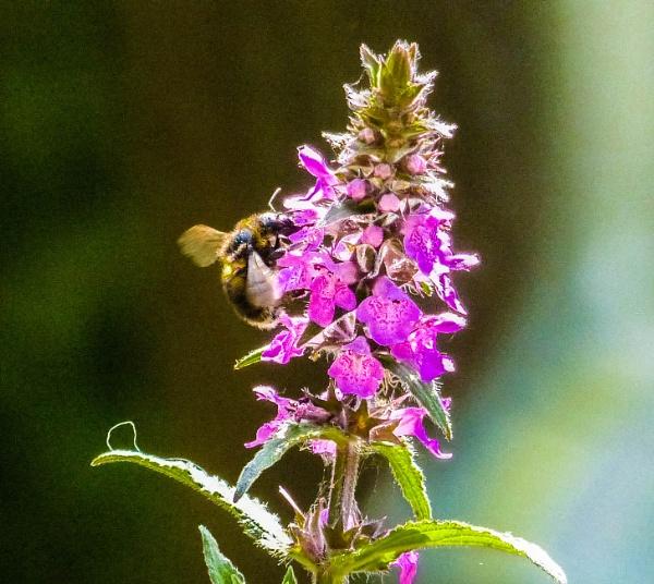 Bee on Verbena by Chrisjaz