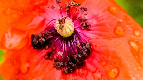 Poppy by Chrisjaz
