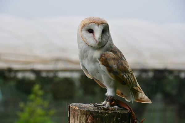 Barn Owl ( I think ) by eddie1