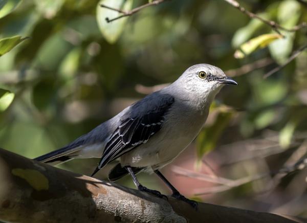 Northern Mockingbird by terryxc