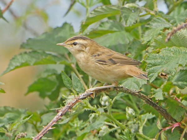 Sedge Warbler by Ted447