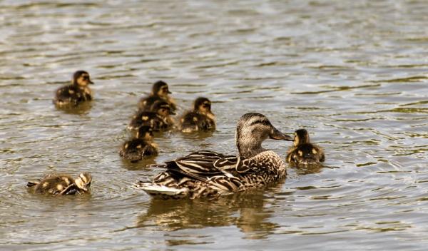 Mother Mallard & Ducklings by Alan1297
