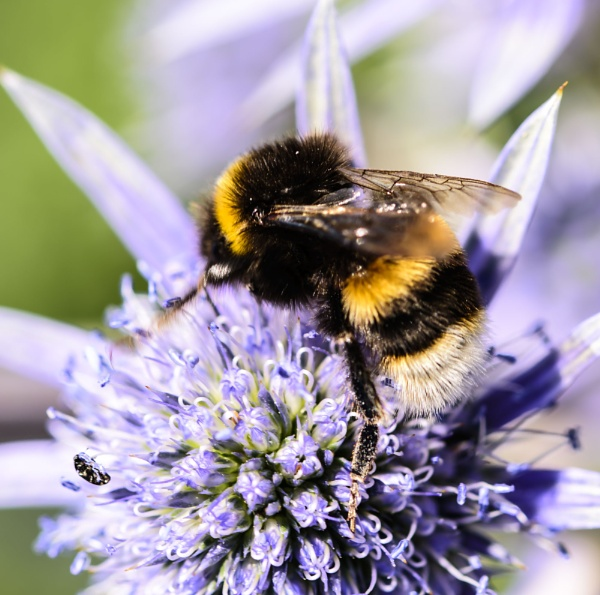 UK Bumble Bee by Alan1297