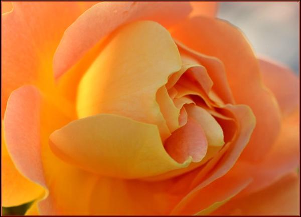 Softly softly apricot.... by fotobee