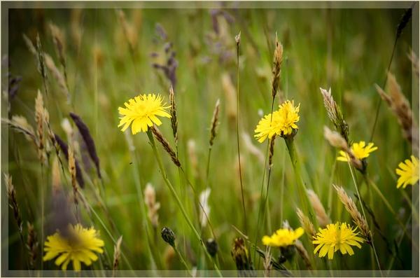 Wild flowers near home by liarsdance