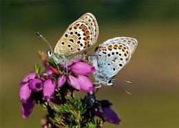 Silver-studded Blue Butterfly (Plebejus argus)