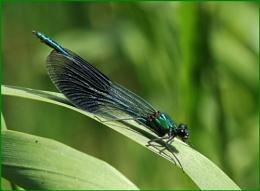 Male Banded Demoiselle