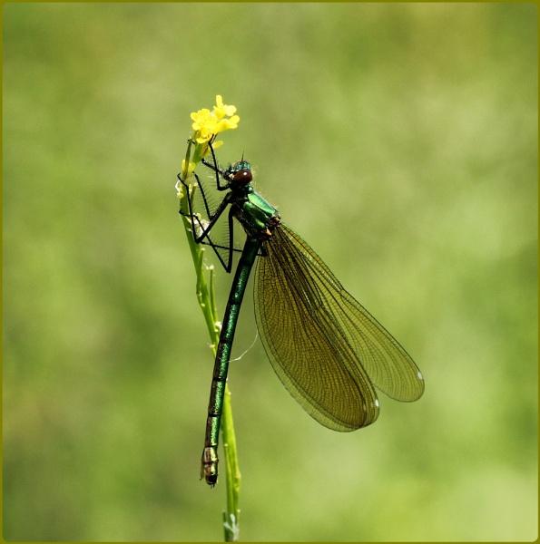 Female Banded Demoiselle by Glostopcat