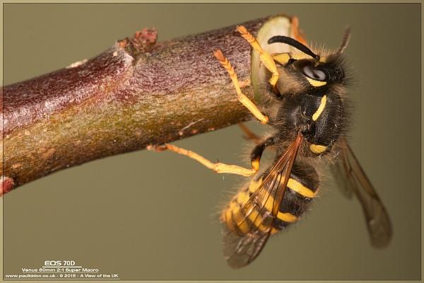 Wasp! by Paul_Iddon