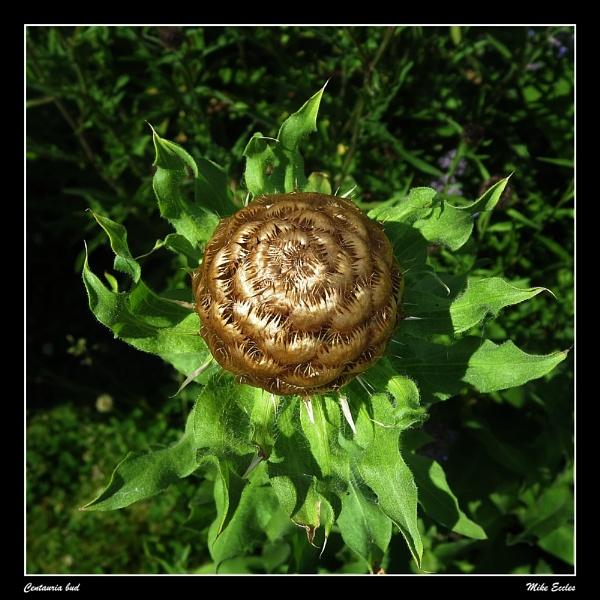 Centauria bud by oldgreyheron