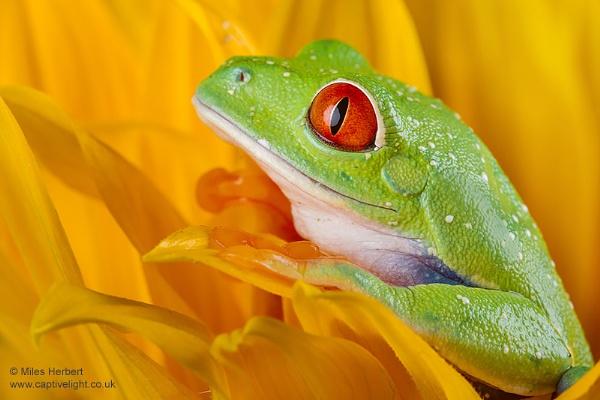 Red Eye Sunflower by Miles Herbert
