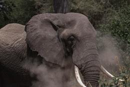 Elephant bull Tarangire Tanzania