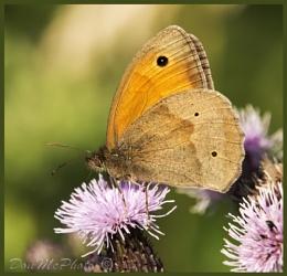 Meadow Brown (Maniola jurtina) (I)