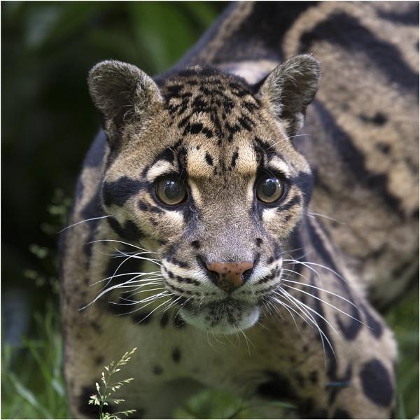 Clouded Leopard by Lillian