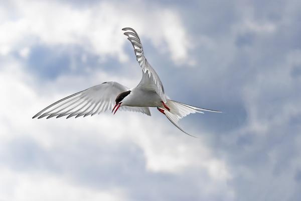 Arctic Tern (Sterna paradisaea) by Ray_Seagrove