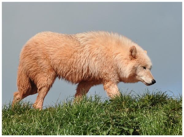 Arctic Wolf (5) by PhilT2