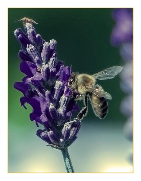 Pollen Gatherer by nikon