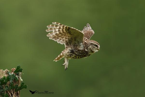 Little Owl 2015 by Louise_Morris