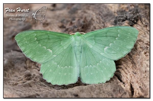 Large Emerald moth - Geometra papilionaria by daffydill56