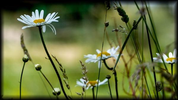 Daisy by Chrisjaz